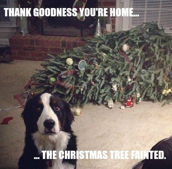 photo of dog with fallen Christmas tree behind him saying The Christmas tree fainted.