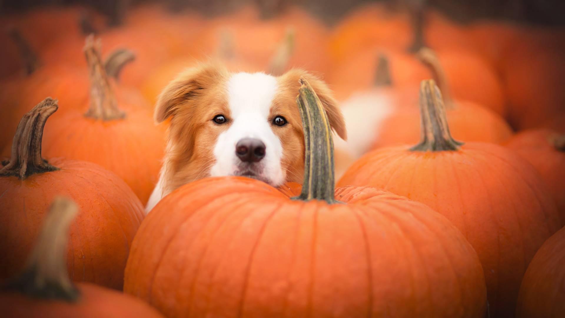puppy in a pumpkin patch